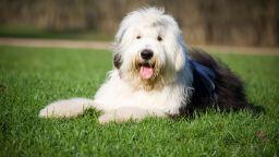 """Кучешка порода, възпята от """"The Beatles"""", е напът да изчезне"""