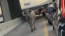 Крава беглец и яростен алигатор блокираха трафика в Хюстън (видео)