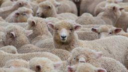 """В България имало стотици хиляди """"виртуални овце"""""""