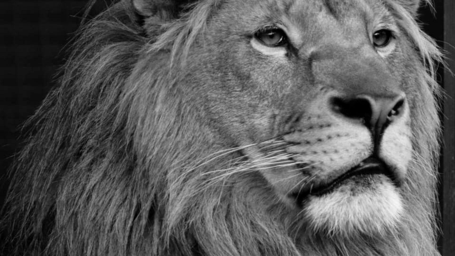 Разградският лъв Терез почина в Нидерландия 10 месеца след брат си Масуд