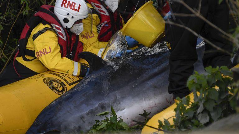 Малък ивичест кит, който бе заседнал в река Темза в