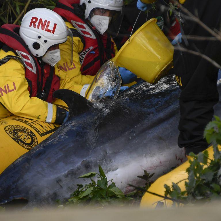 Спасен малък кит отново избяга в Темза (снимки и видео)