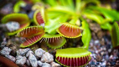 Смартфон контролира растението Венерина мухоловка