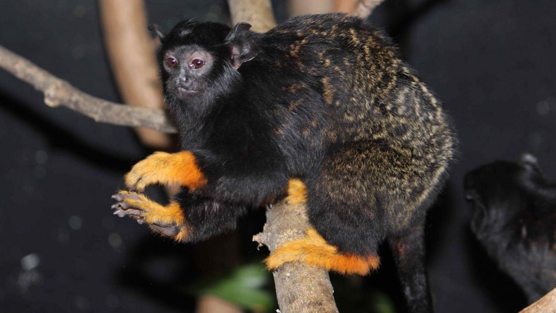 Софийският зоопарк се похвали с нови обитатели – златоръки тамарини