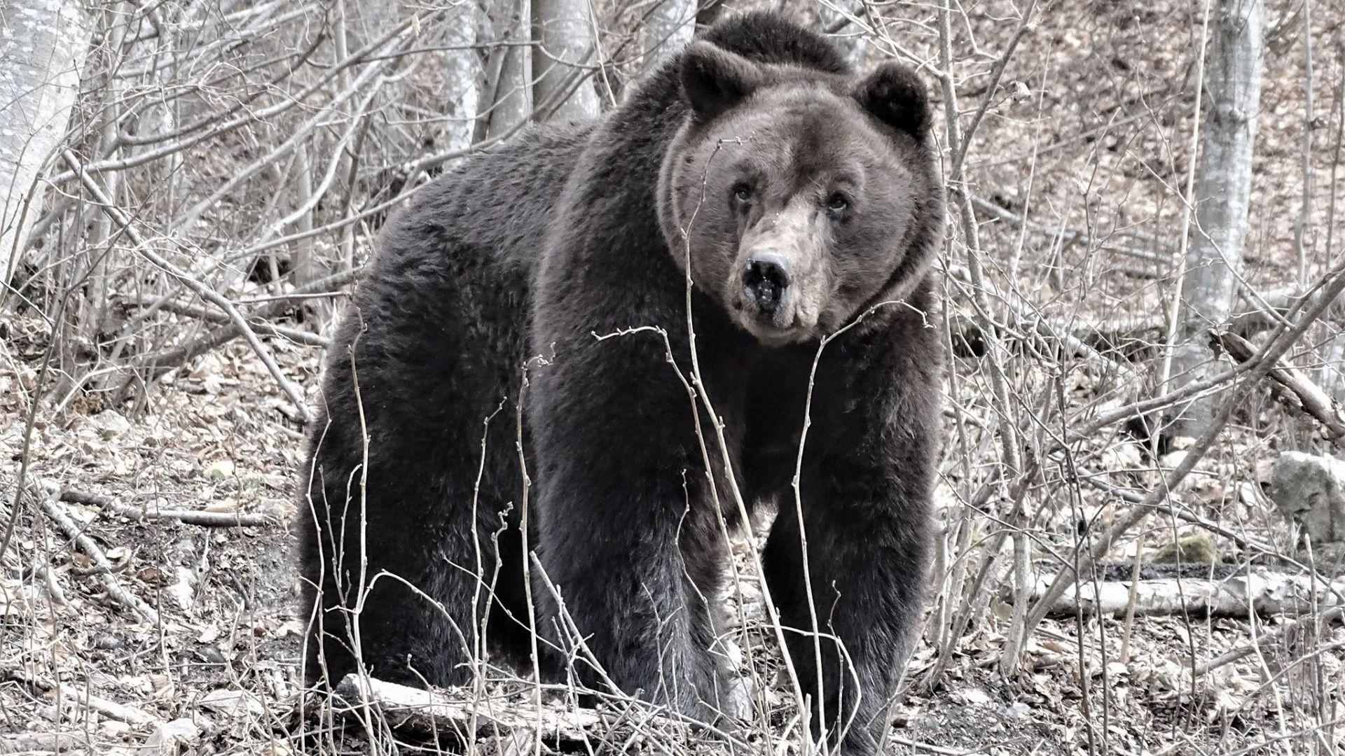 Приспаха първия обитател на Парка за танцуващи мечки край Белица, за да не се мъчи