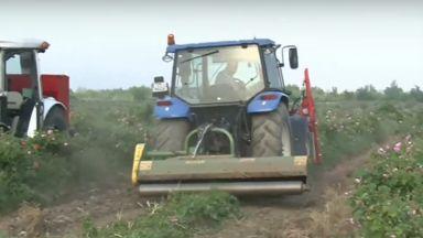 Протестиращи производители унищожиха полета с маслодайна роза