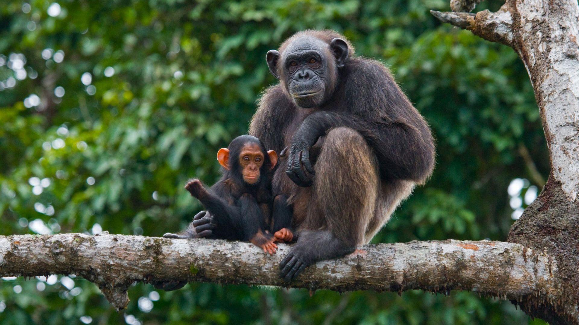 Шимпанзетата адаптират ръкостисканията според социалната си група
