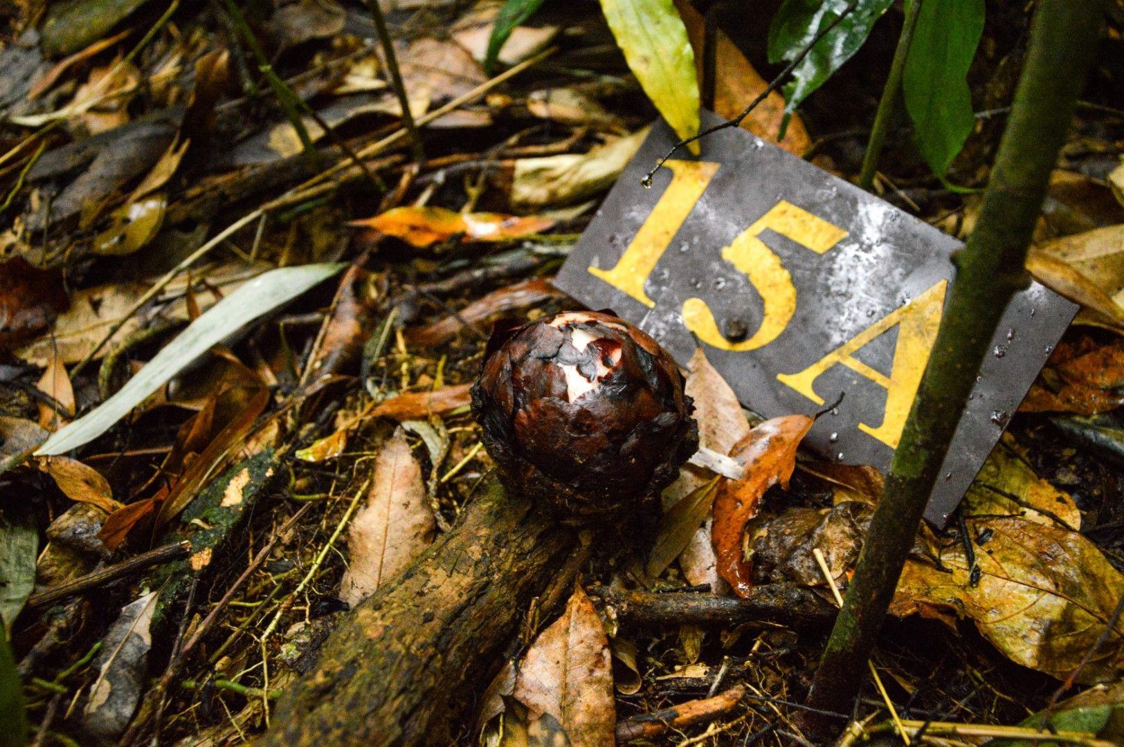 """Пъпка на рафлезия, номерирана от рейнджърите в Национален парк """"Као Сок"""" в Тайланд"""
