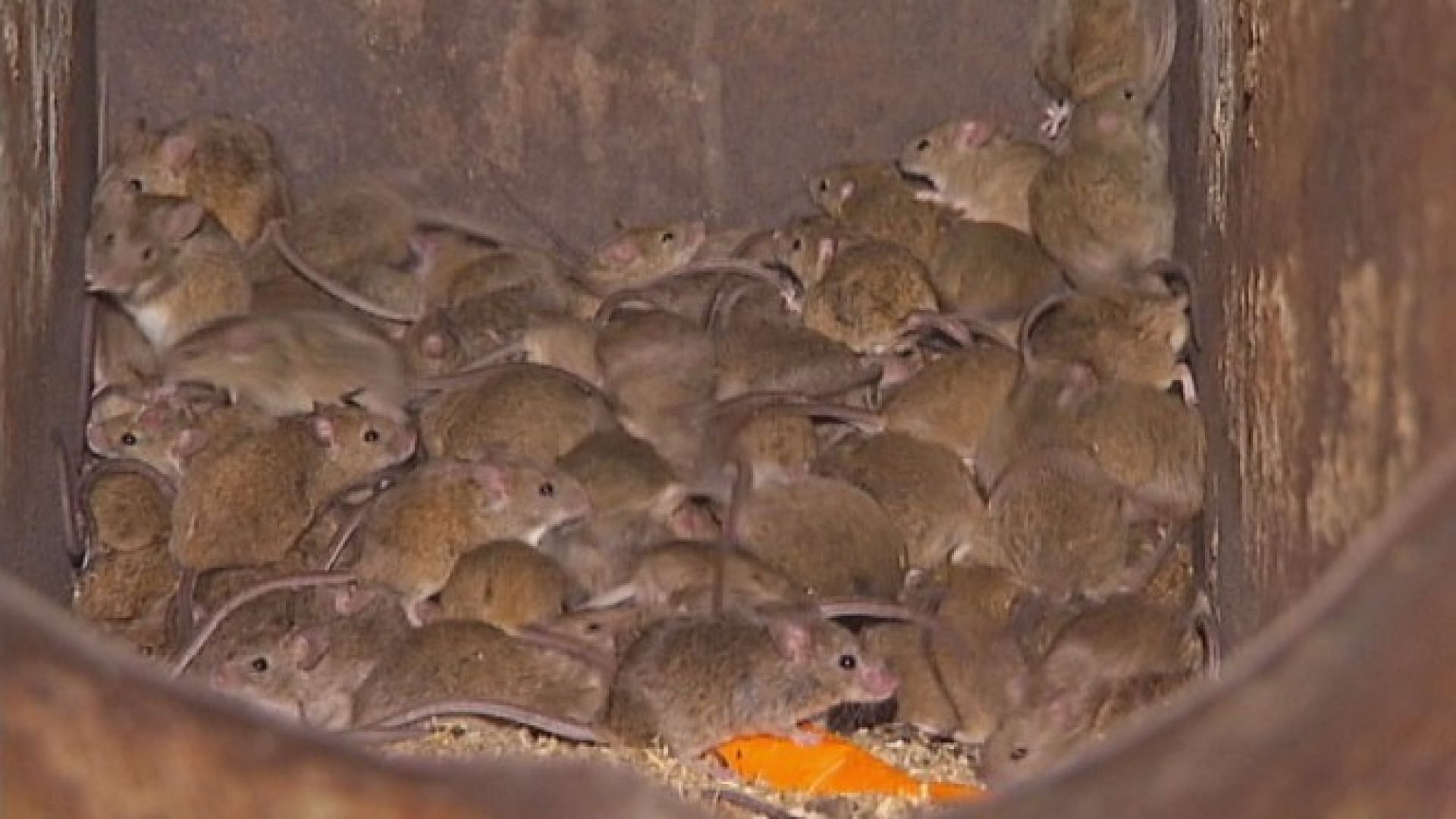 Нашествие на милиони мишки в Нов Южен Уелс, влизат в къщите и леглата (видео)