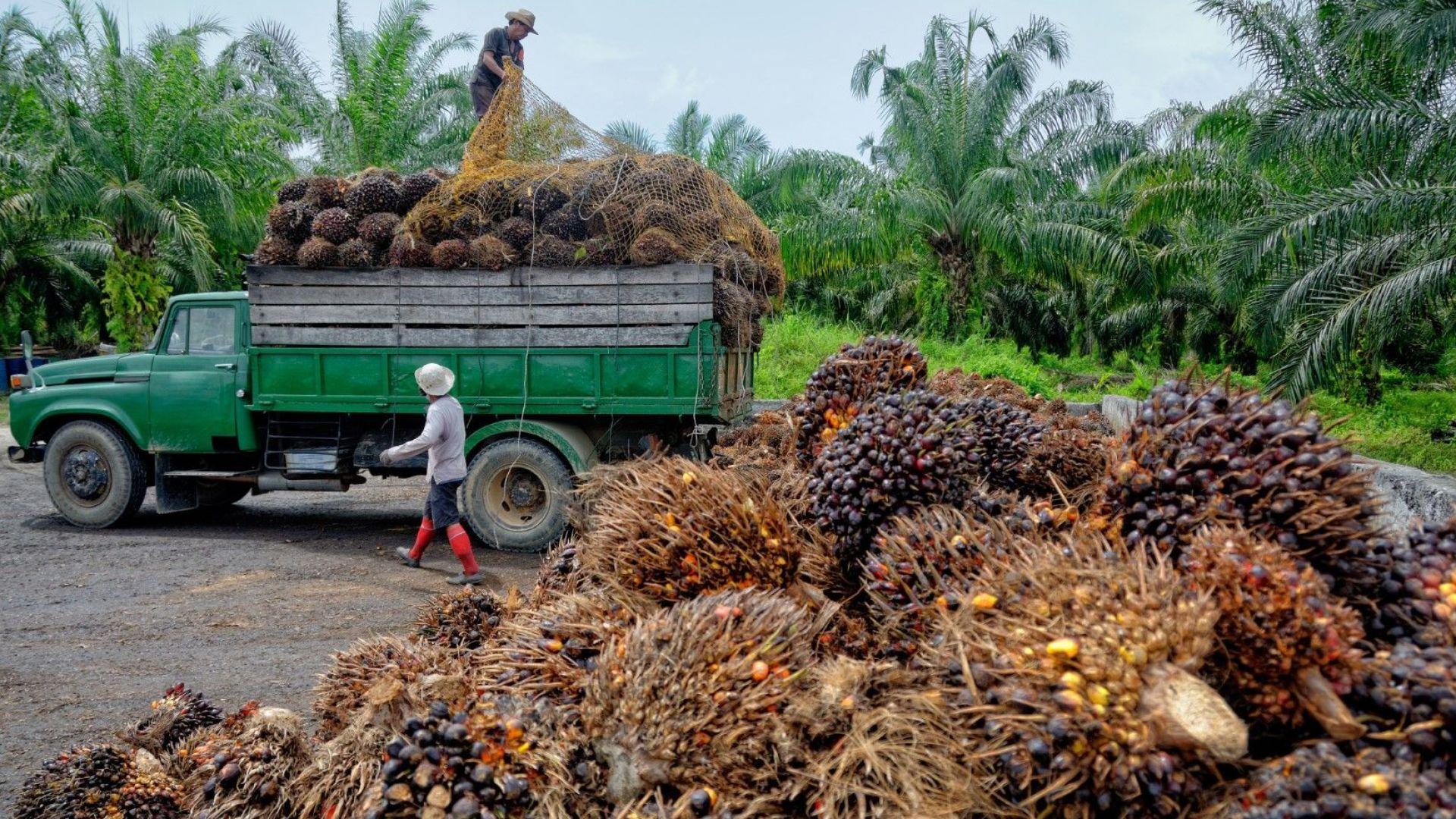 Малайзия и Индонезия vs. ЕС в СТО за палмовото масло