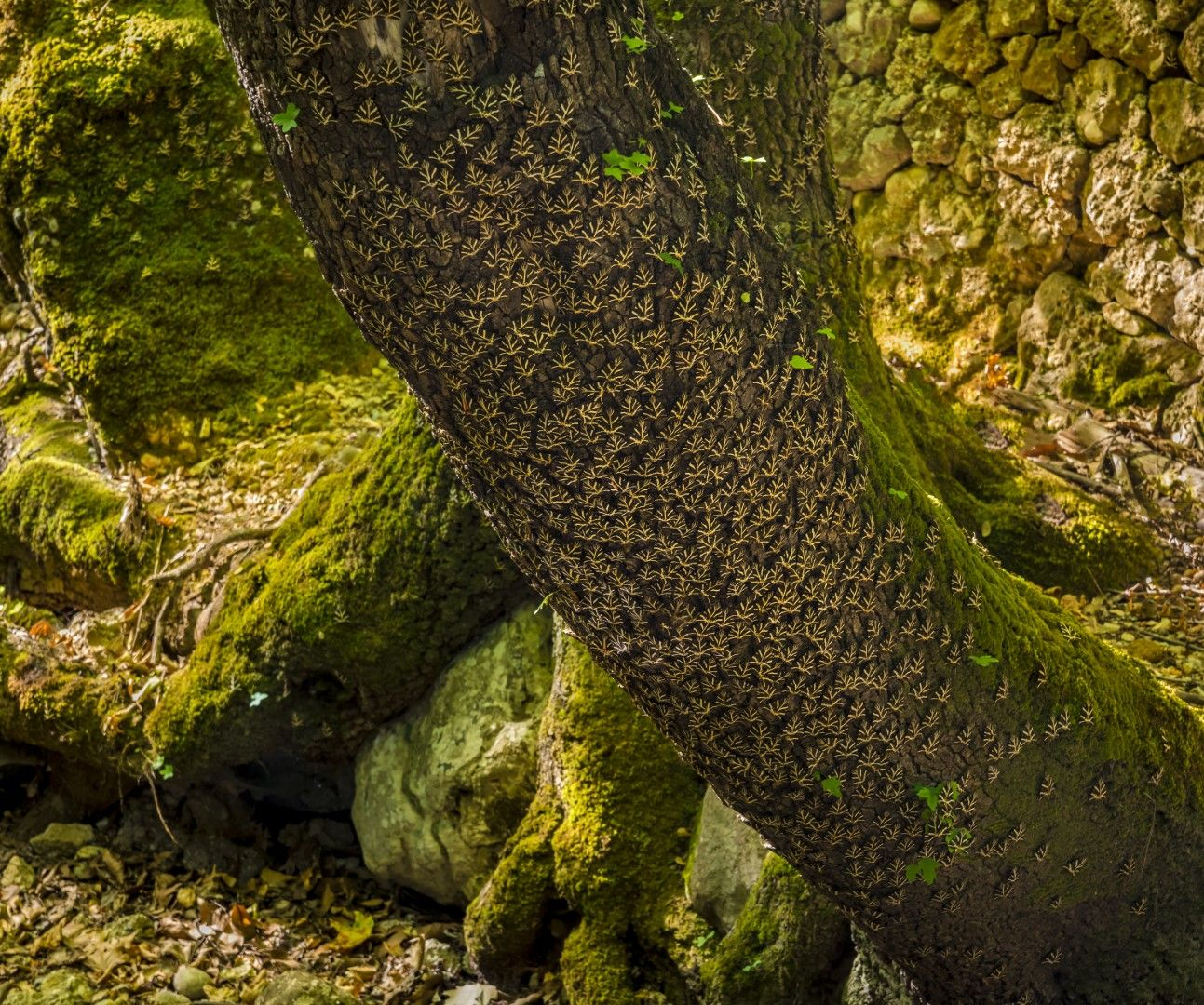 Пеперуди по ствол на дърво в Долината на пеперудите
