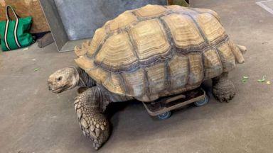 108-килограмова костенурка с артрит в Германия се придвижва със специална дъска