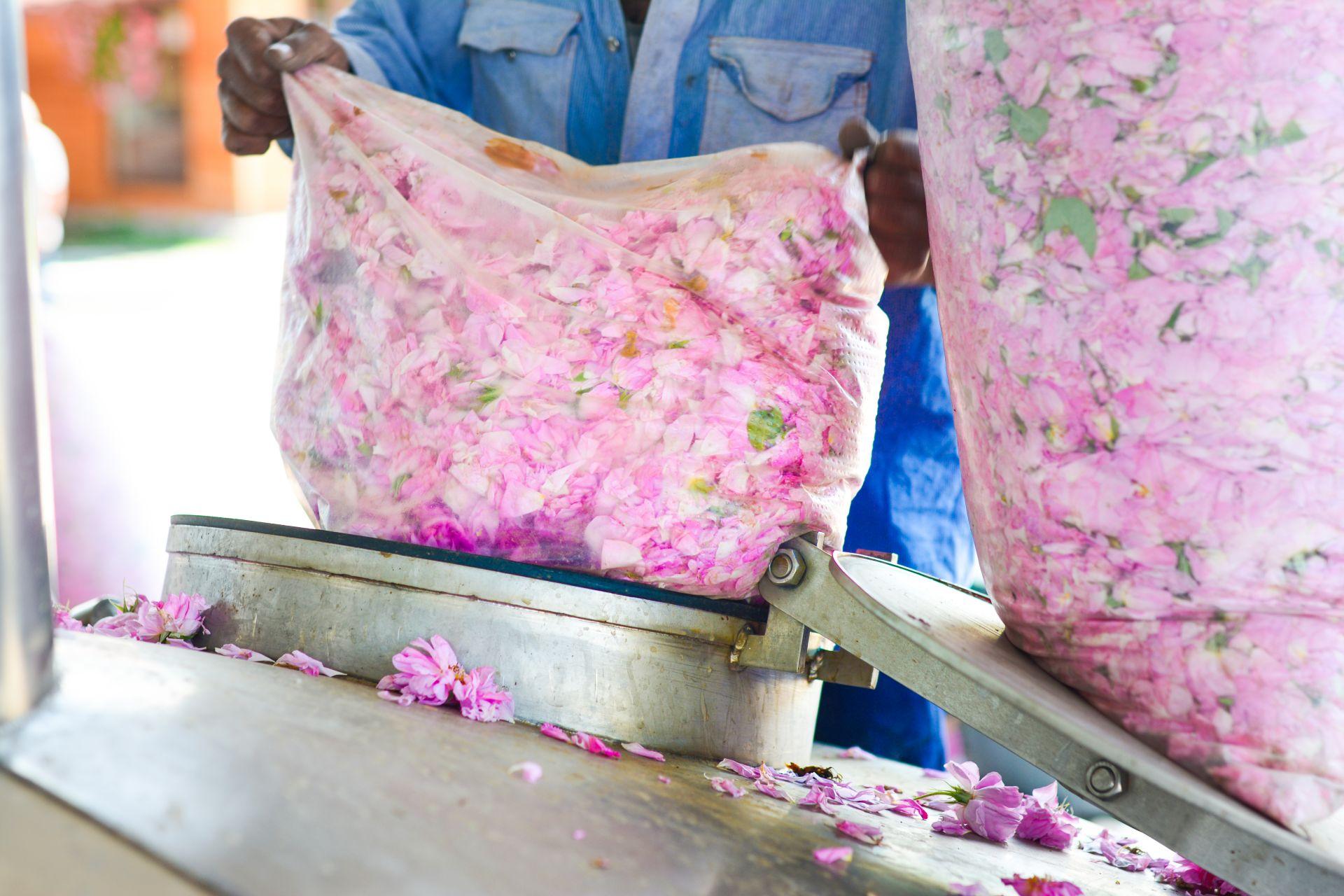 Част от процеса на създаване на розовото масло
