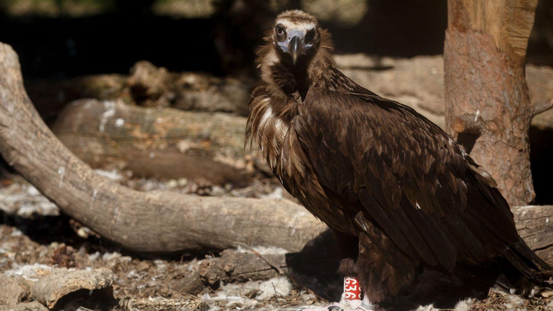Отровиха лешояд от световно защитен вид в района на Добринище