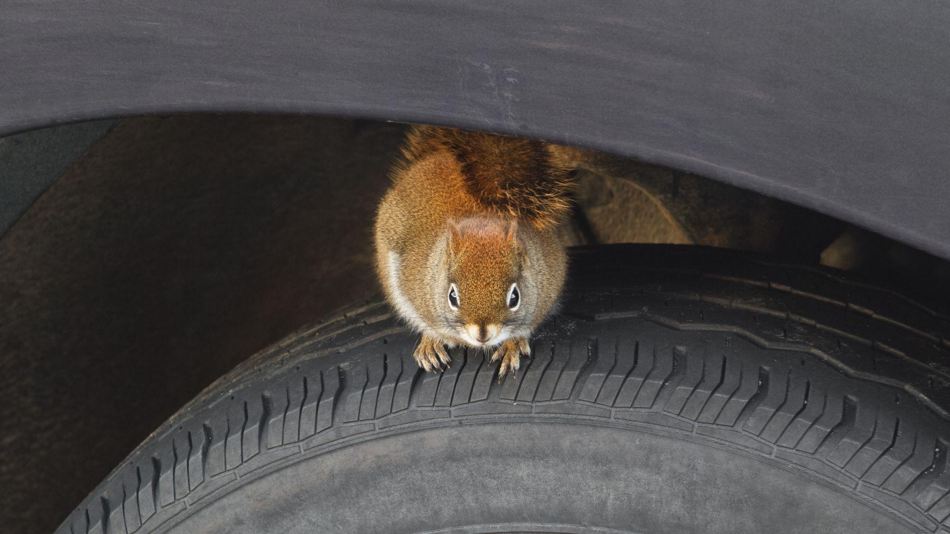 Пролетният кошмар на германските шофьори - размножителният сезон на белките