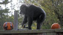 Почина Коби - най-старото шимпанзе в САЩ