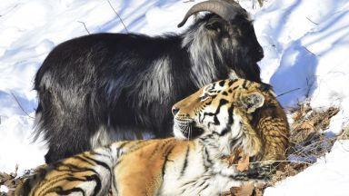 Тигърът, прочул се с необичайната си дружба с козел, се сдоби с потомство