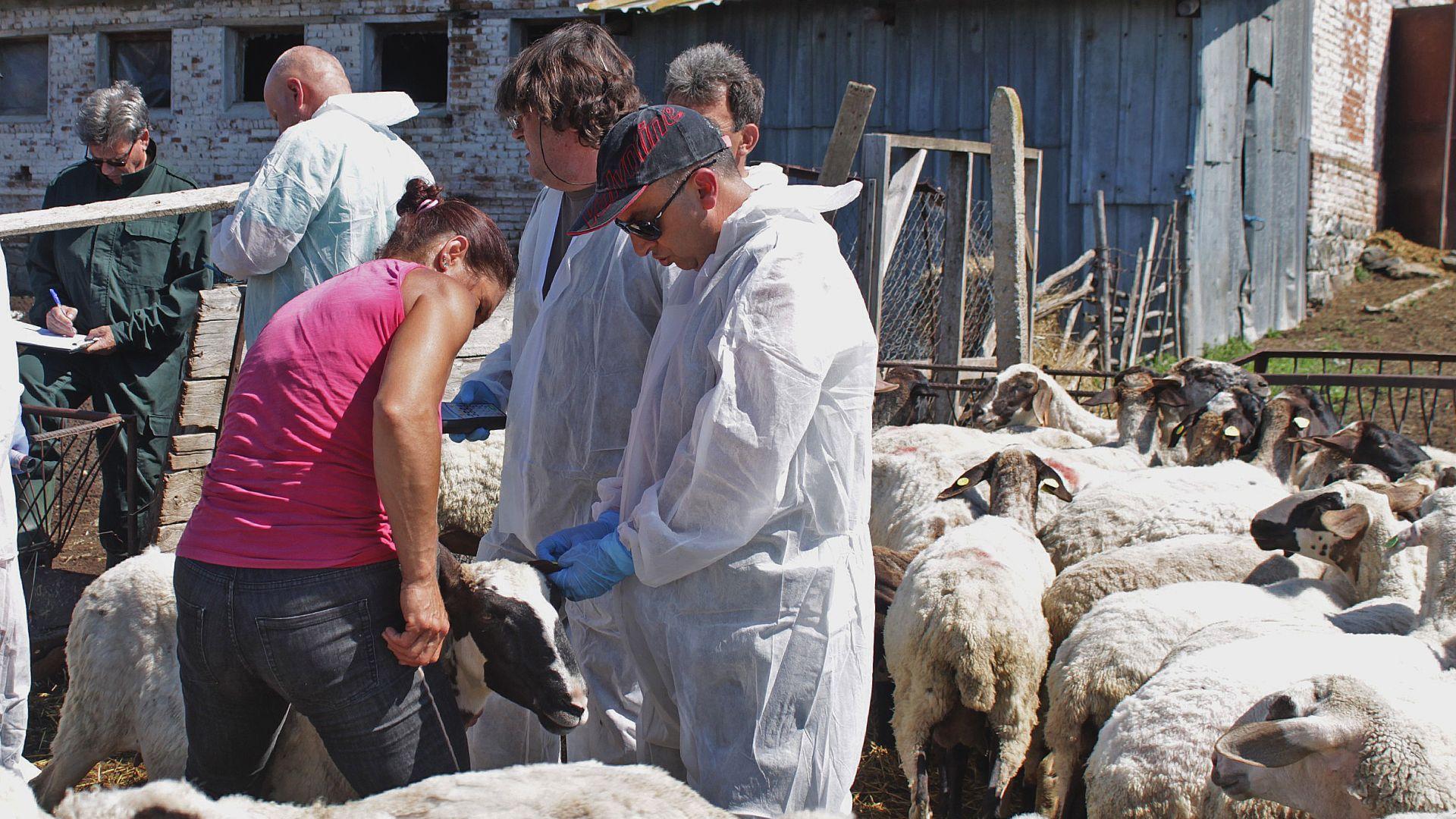 Взеха нови проби за чума от спорното стадо в Болярово, пращат ги в Германия и Франция