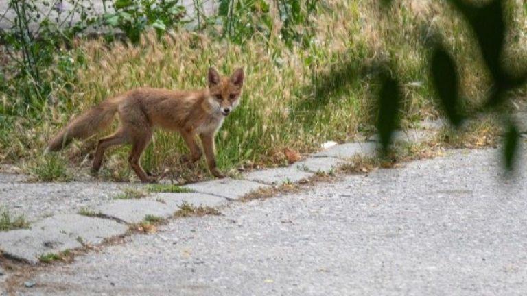 Малко лисиче се разходи по улиците на Пловдив. То е