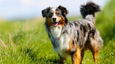 """Продадоха """"всестранно развито"""" австралийско овчарско куче за рекордна цена"""