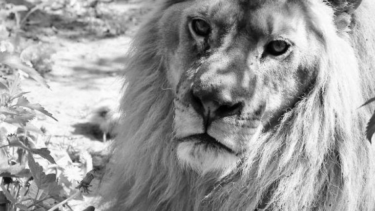 След лъвчетата Терез и Масуд,спасени от зоопарка в Разград, но