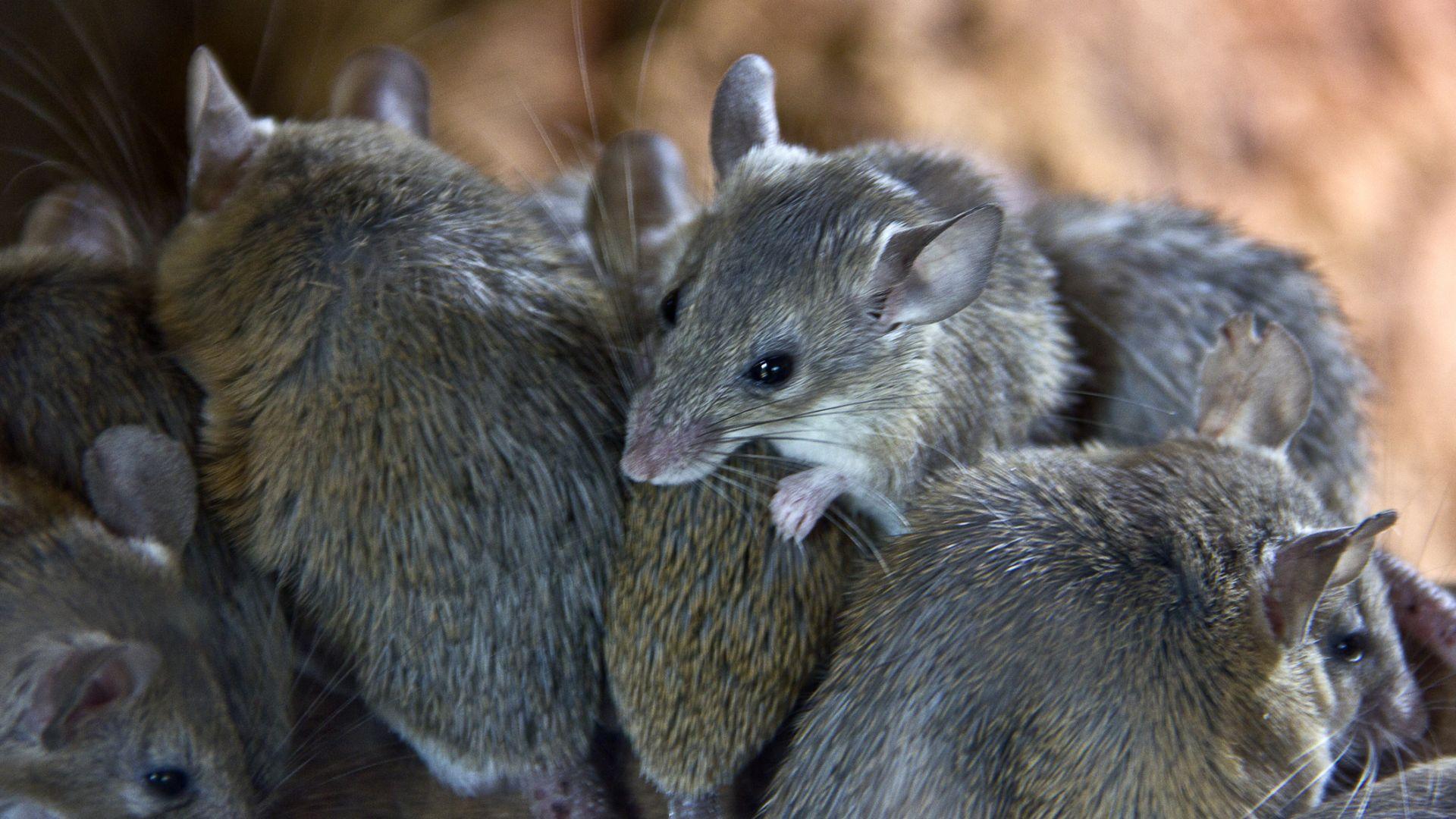 Евакуираха затвор в Австралия заради нашествие на милиони мишки (видео)