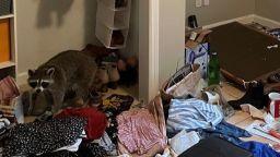 Да ти влезе енот в спалнята (видео)