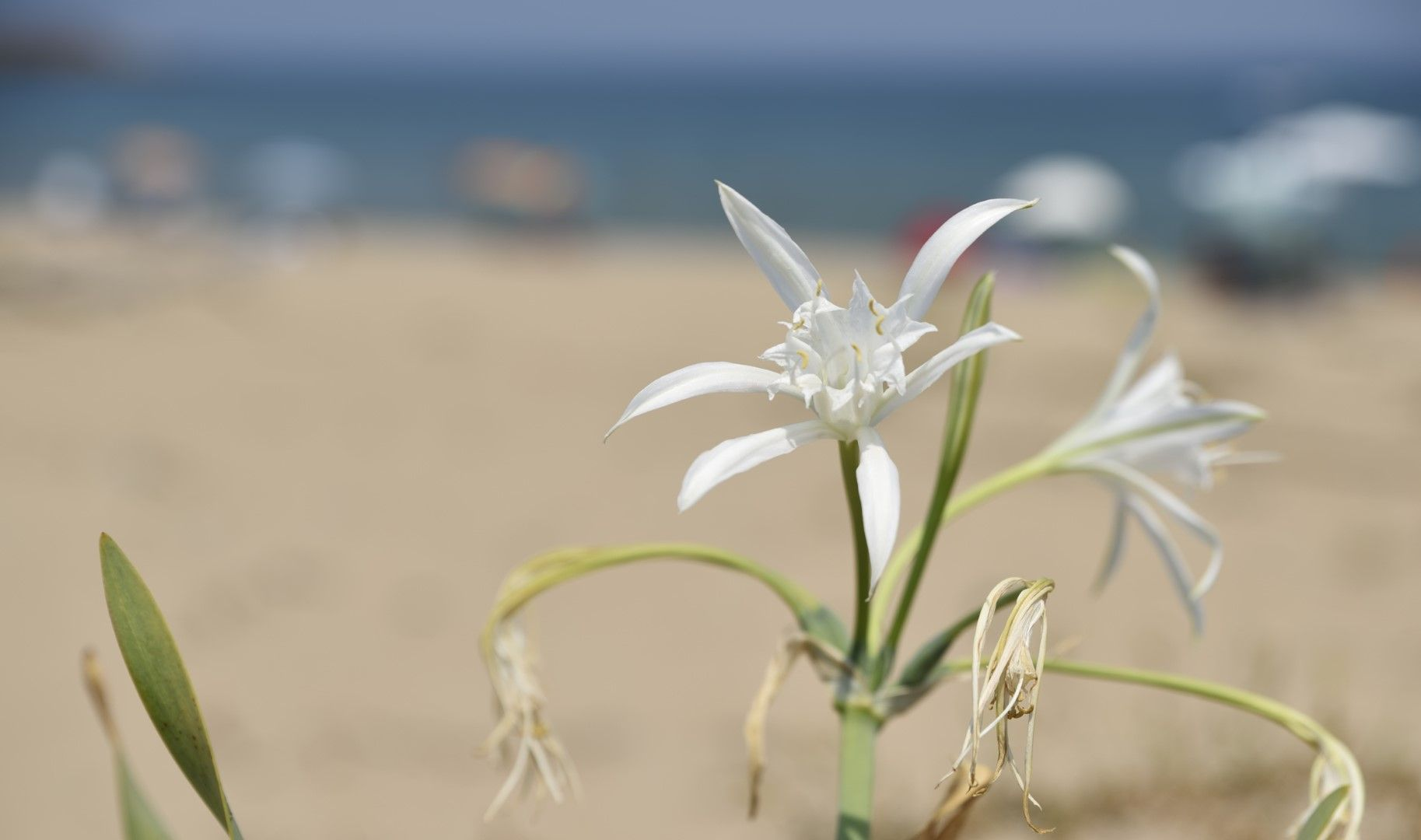 Пясъчна лилия на Аркутино