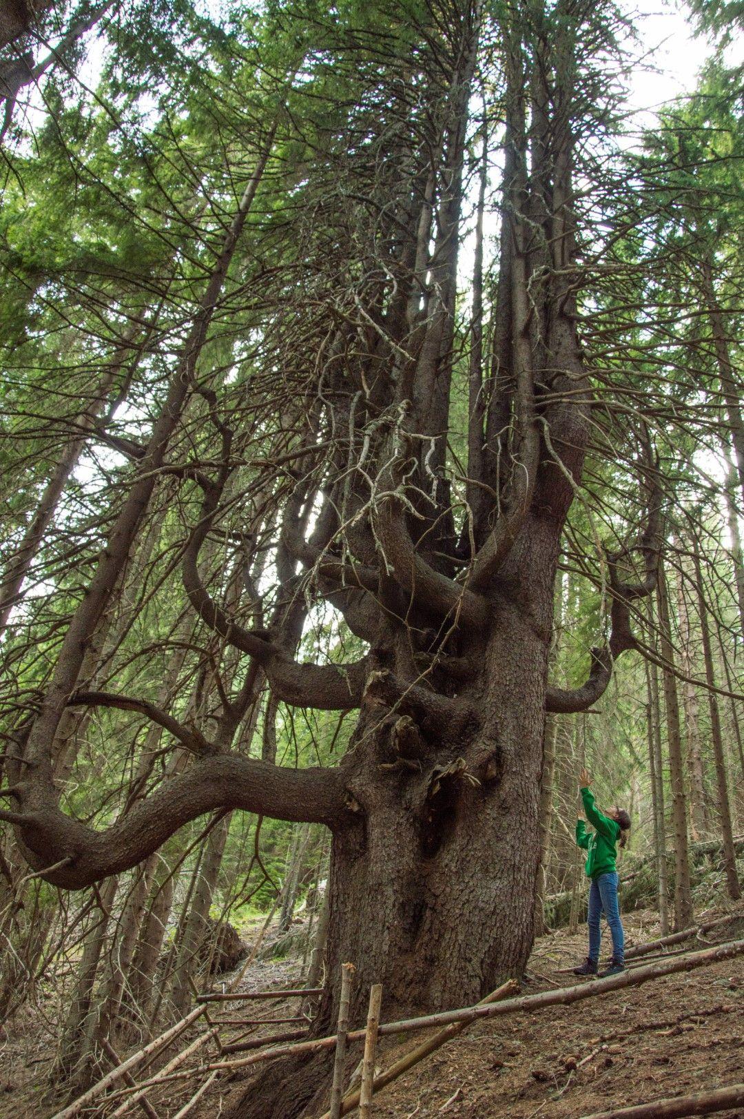 Вековното смърчово дърво Чепеларските юнаци