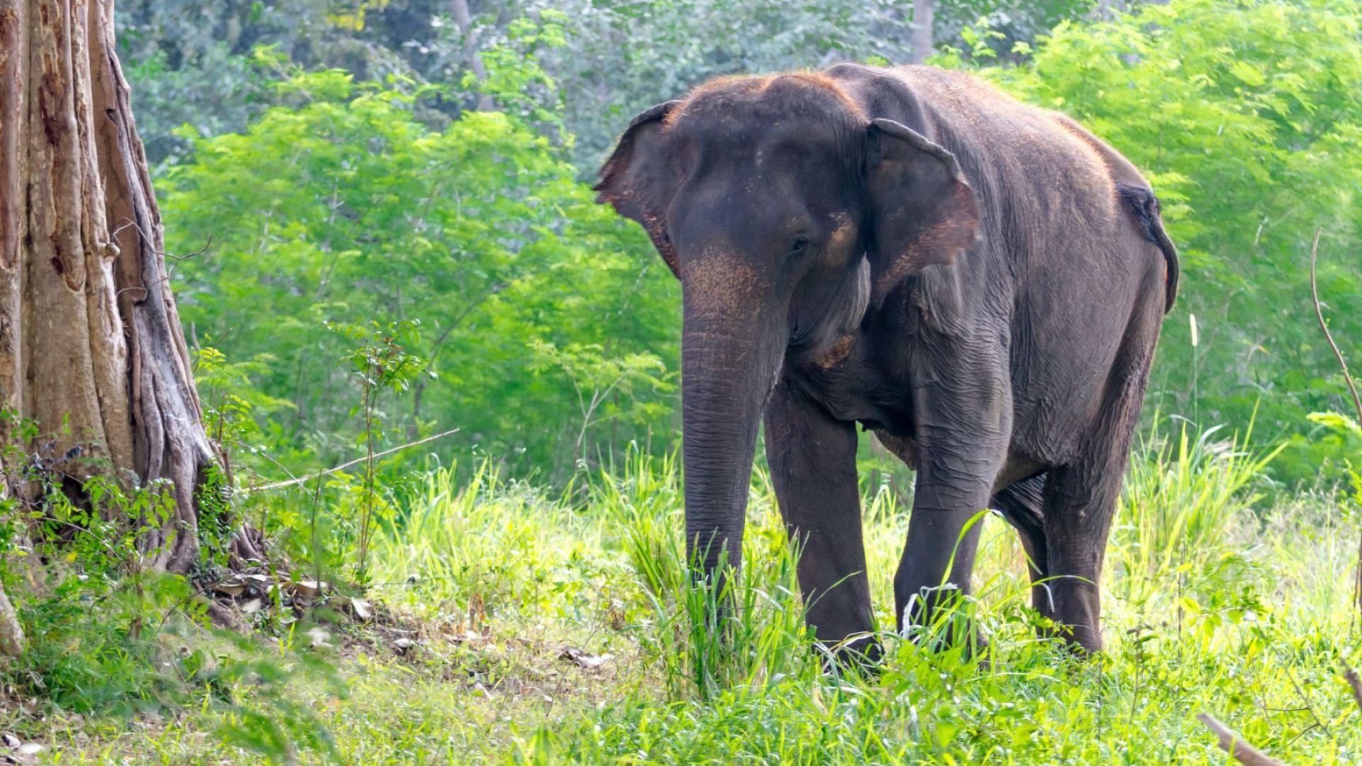 Слон от обикалящото Китай стадо е прибран в резерват