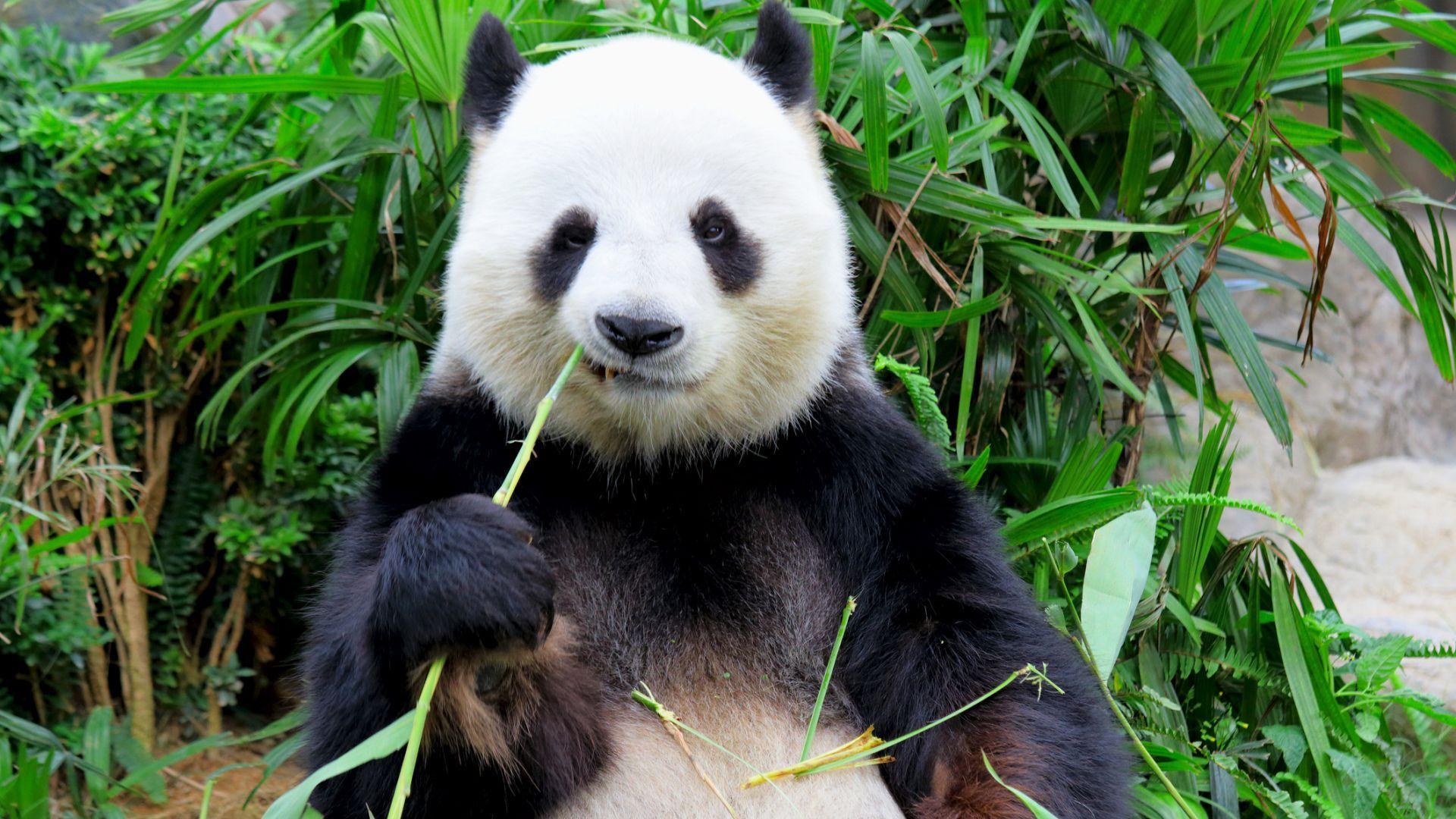 Големите панди вече не са застрашен вид и в Китай