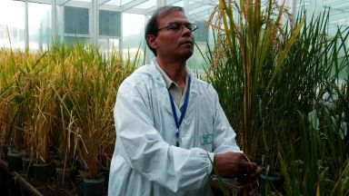 """Филипините първи в света ще произвеждат """"златен ориз"""", за да го продават"""
