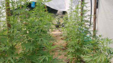 Разкриха оранжерия за марихуана във ферма за охлюви (снимки)