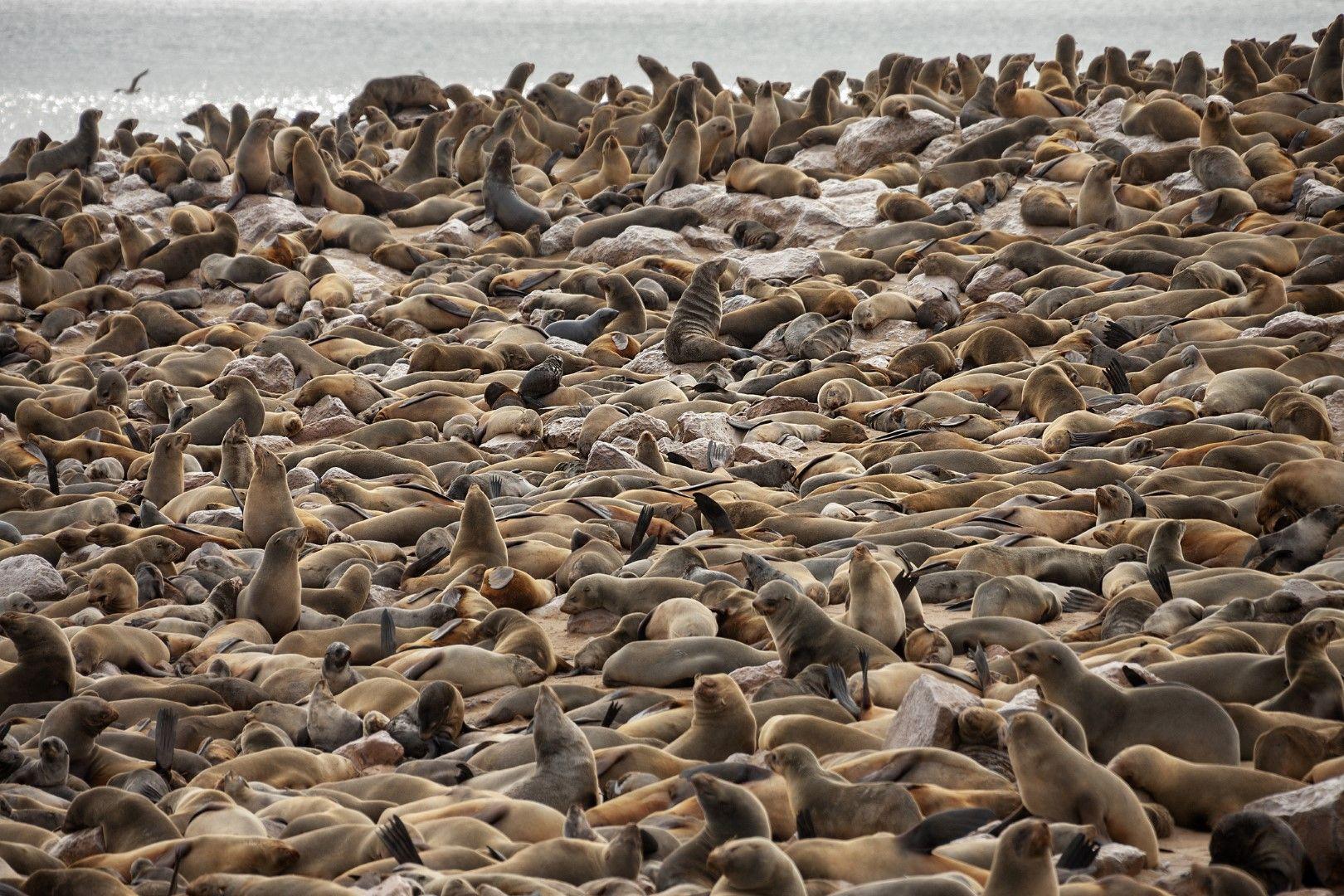 Тюлените се чувстват чудесно на Брега на скелетите