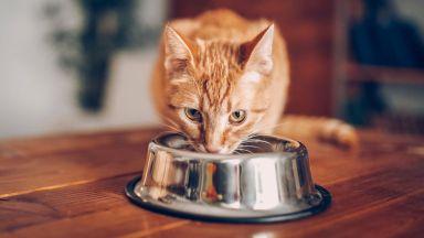 Котките не обичат да се трудят заради храна