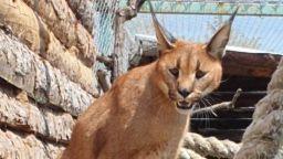Нова двойка в бургаския зоопарк: Клеопатра вече си има своя Цезар (снимки)