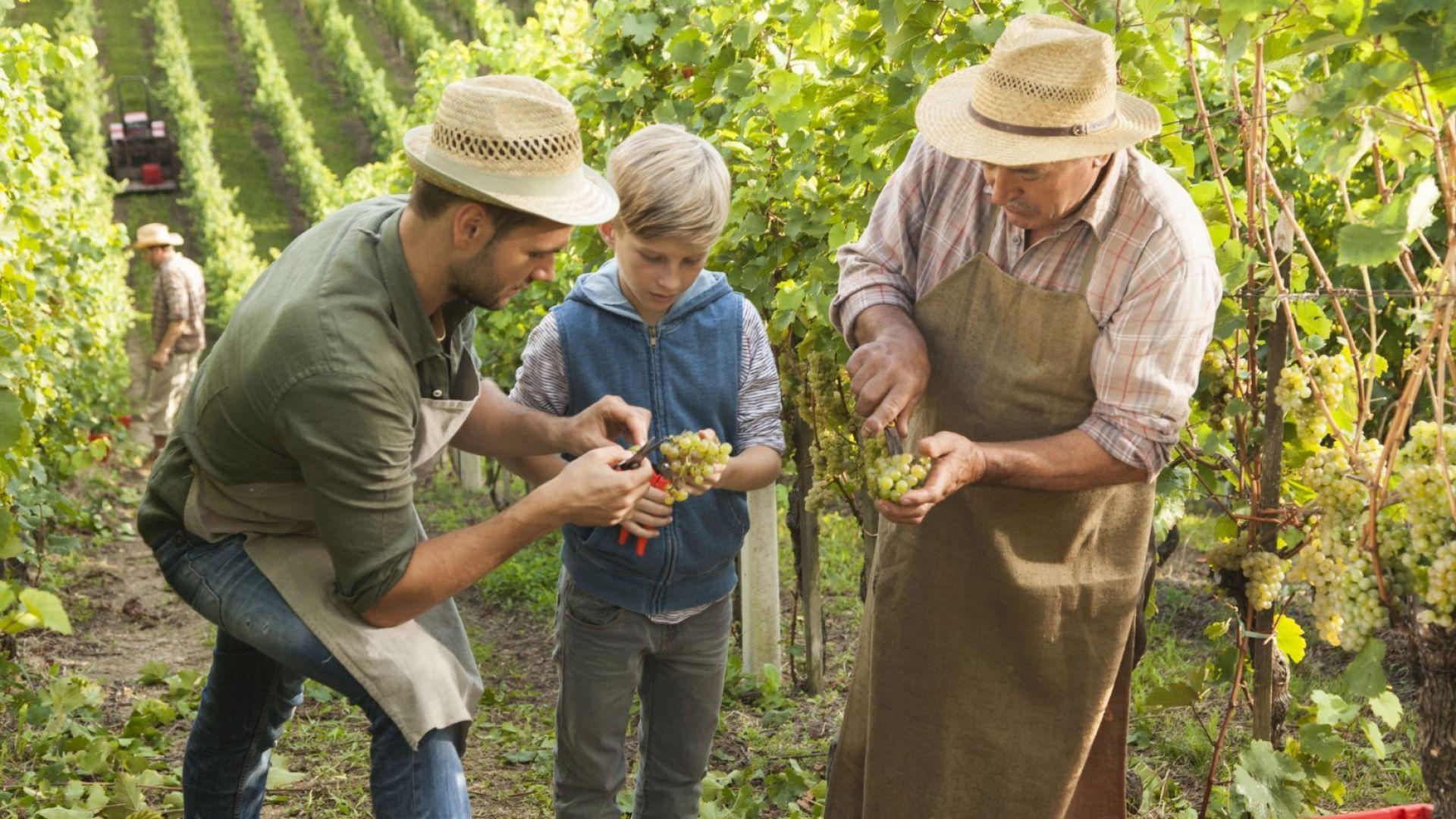 Времето не чака! Какво да се направи за лозята и виното: Върви се към адаптиран растителен материал