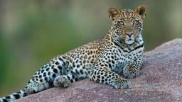 Германски модел пострада тежко след атака от леопард по време на фотосесия
