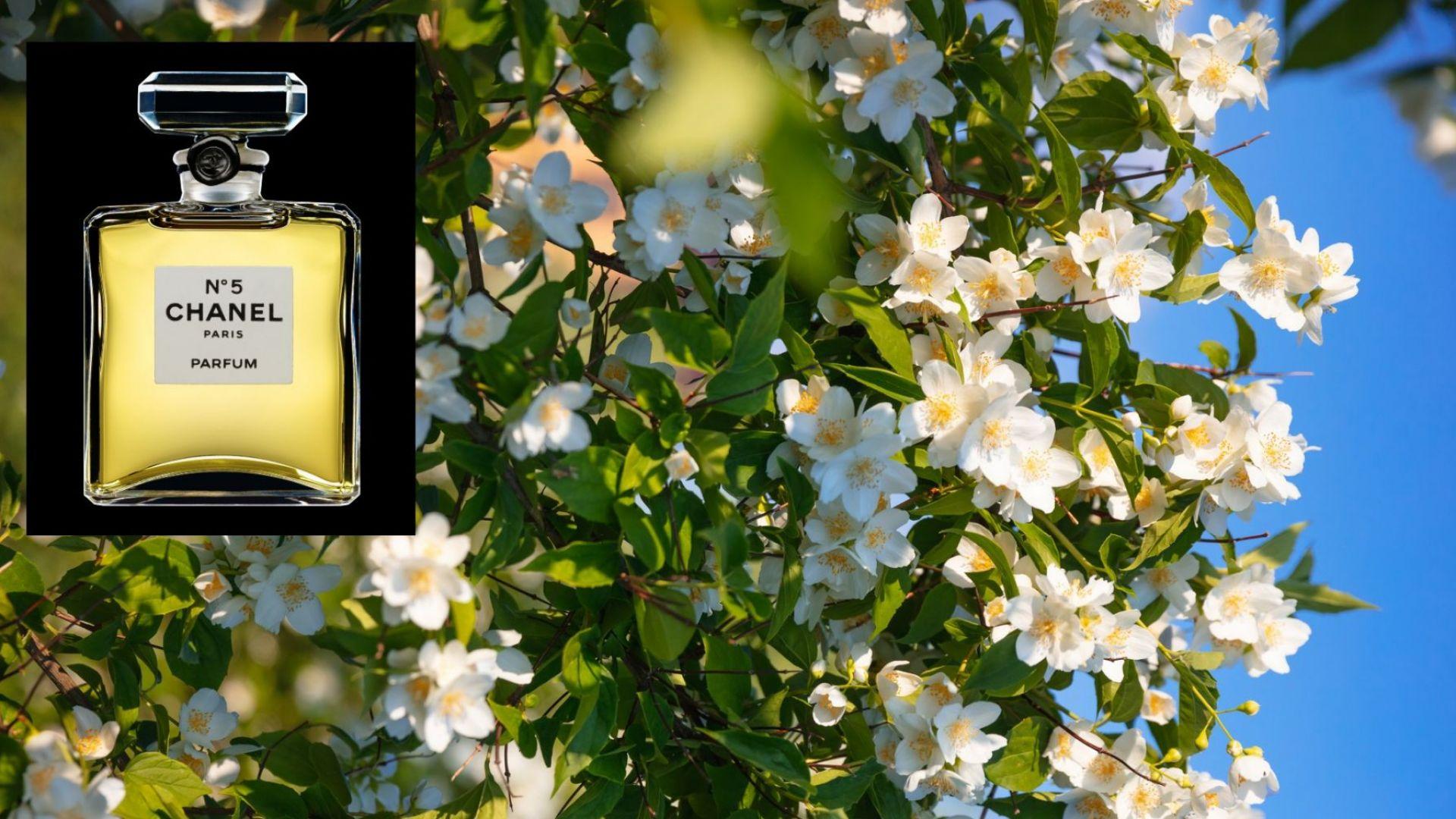 Жасминовите полета във Франция - душата на най-продавания от век парфюм в света