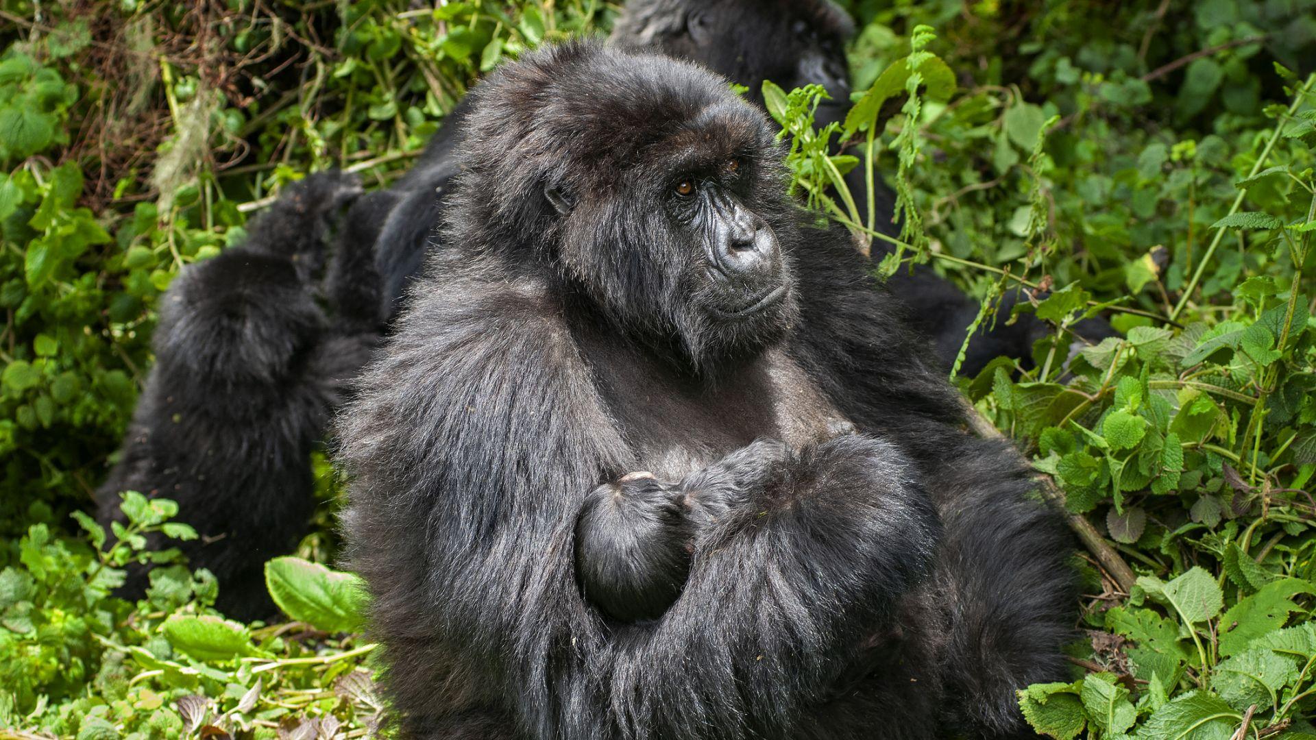 """Роди се първото за 2021 г. бебе планинска горила в прочутия парк """"Вирунга"""""""