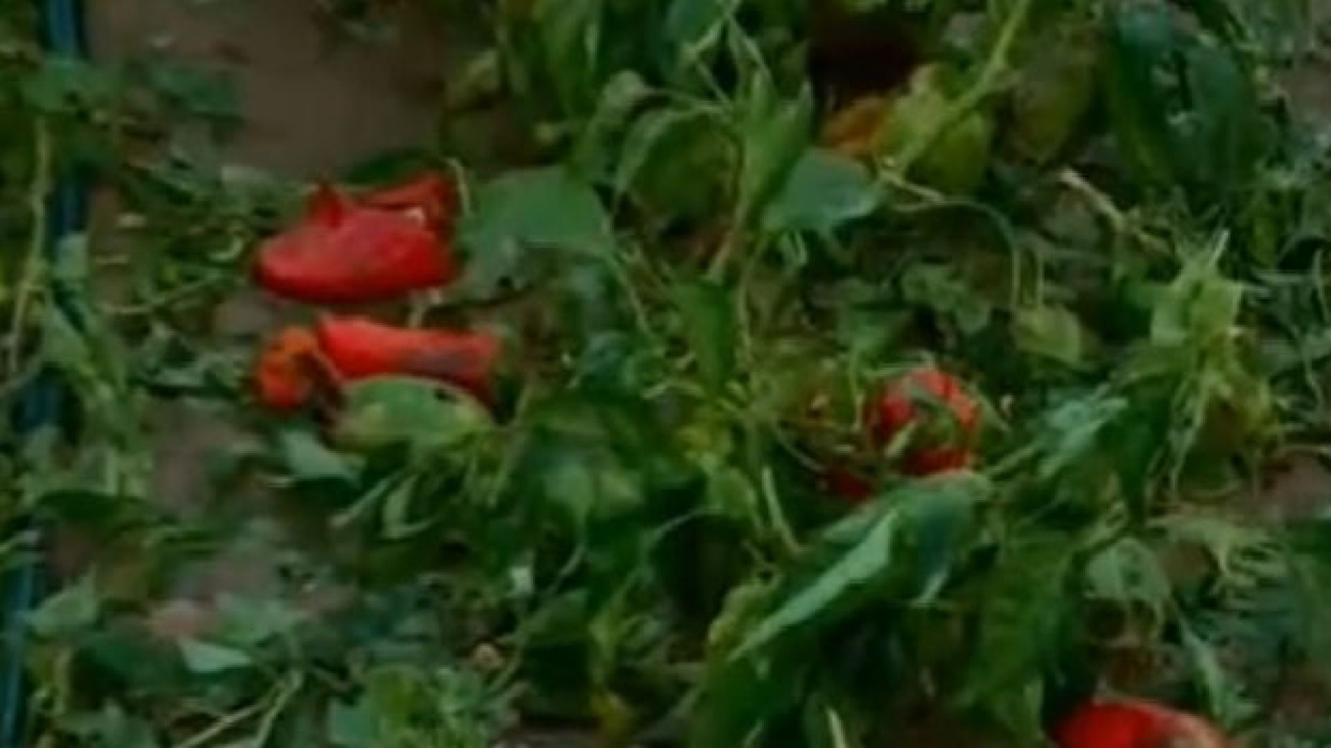 След градушката в Пловдивско: 64 хектара от реколта е унижощена напълно