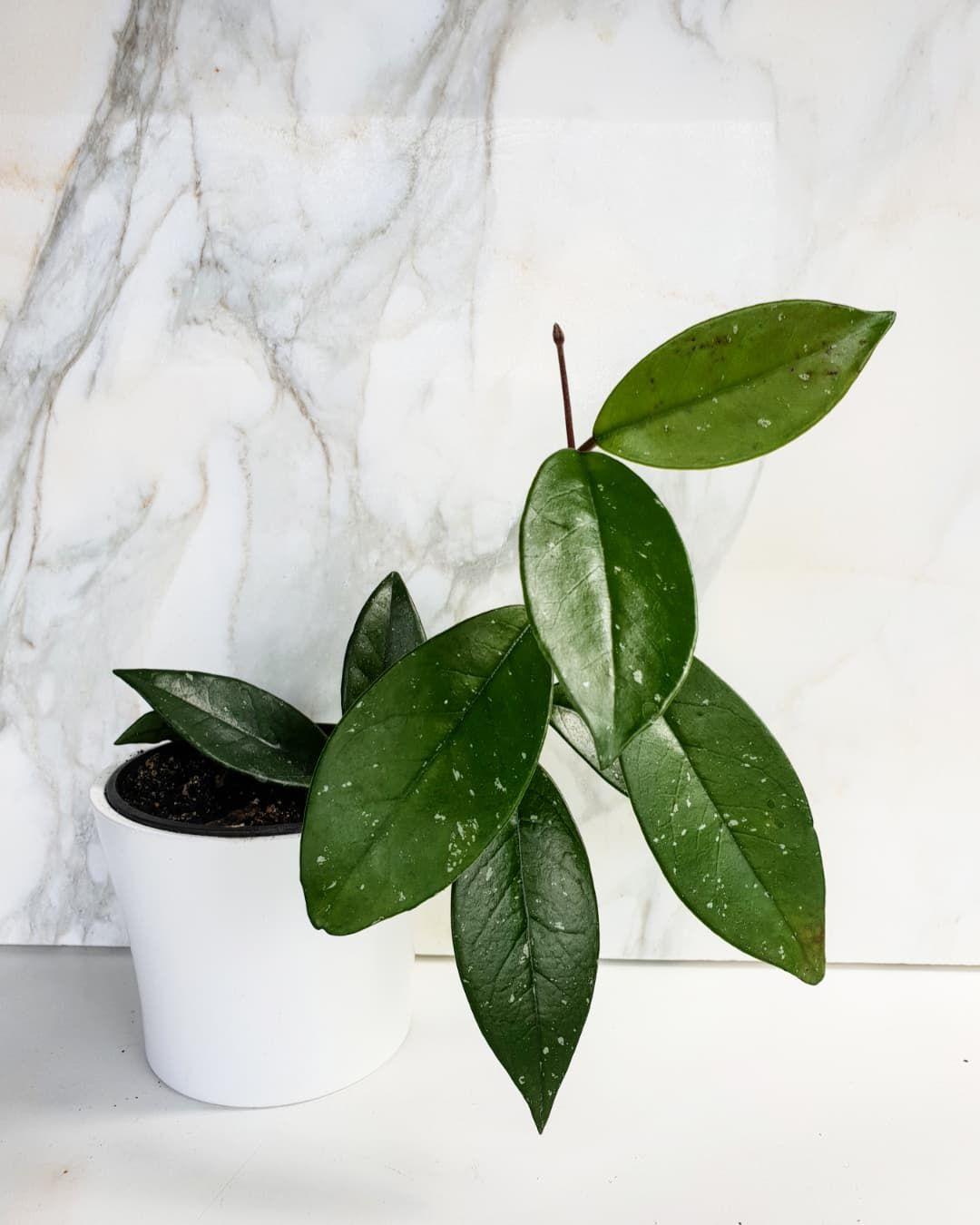 Восъчно растение