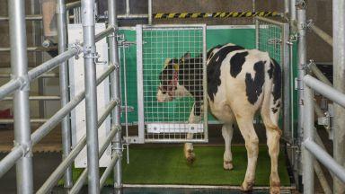 Научиха крави да ходят по малка нужда в гърне
