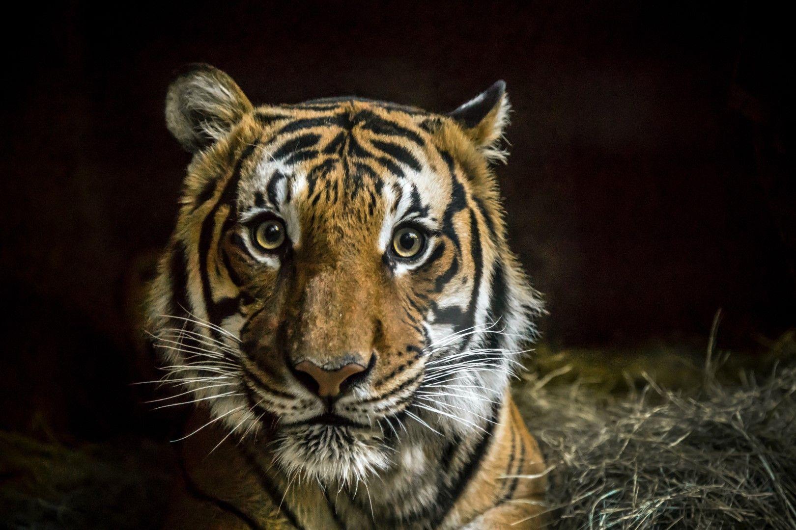 Тигър в зоопарка в Сан Диего