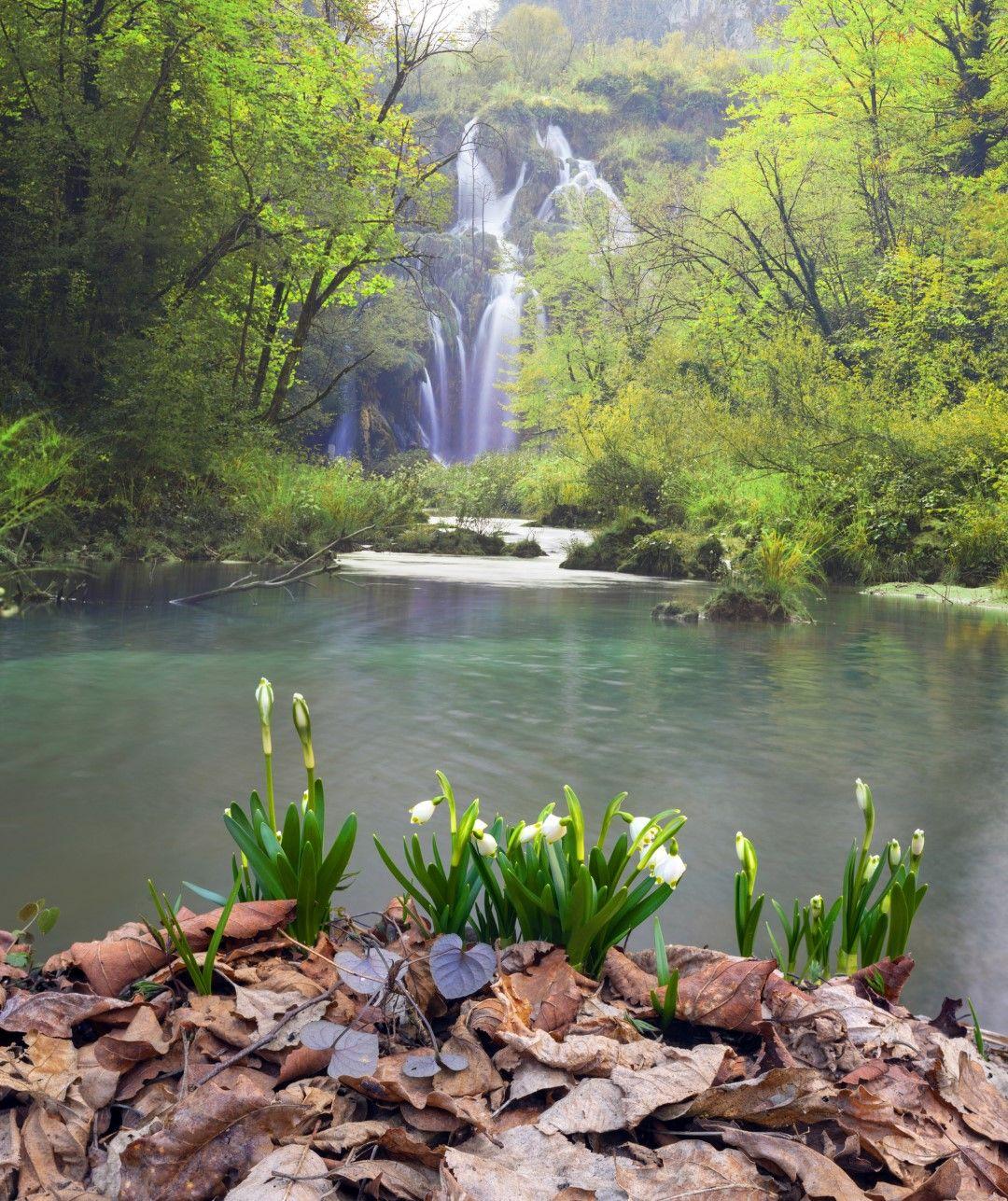 Напролет край езерата цъфтят кокичета
