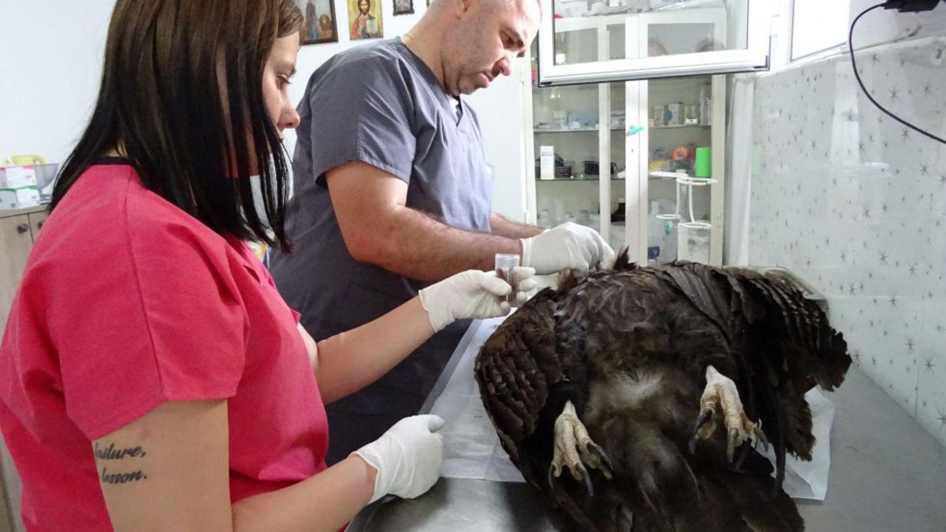 Отровиха черен лешояд край Крумовград, търсят смъртоносната примка