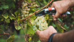 Българи взимат по 10 дни отпуск и отиват на гроздобер в Шампан