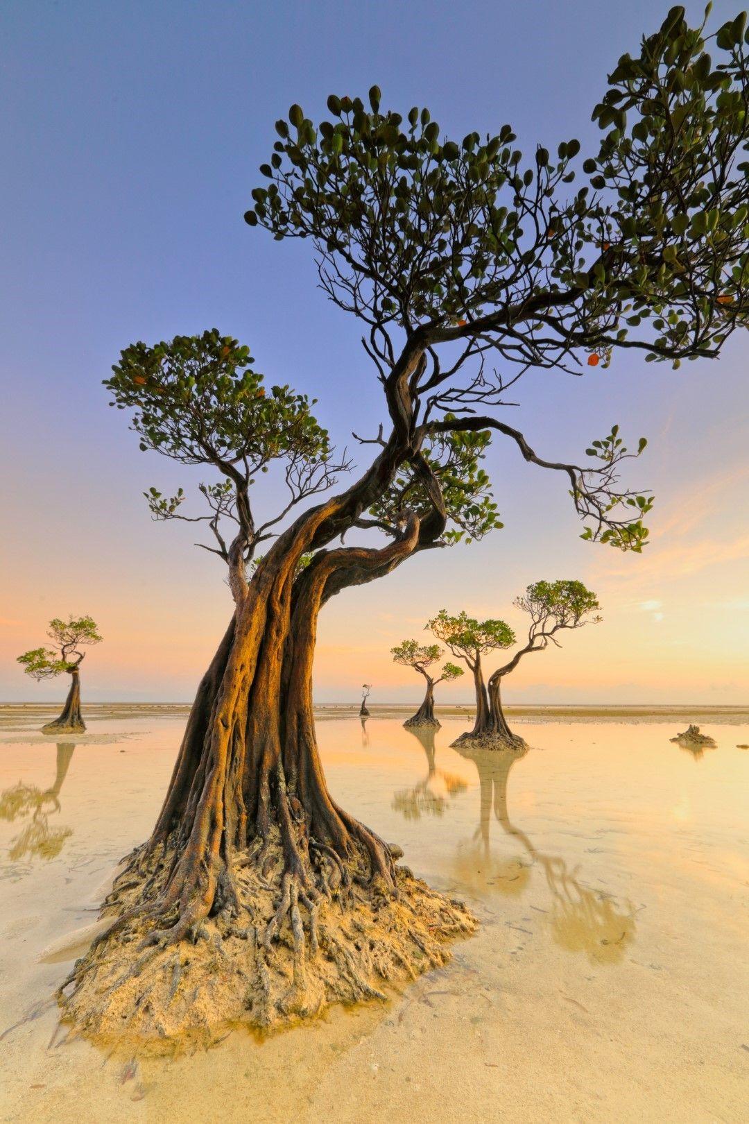 Тацуващите дървета на остров Сумба, Индонезия