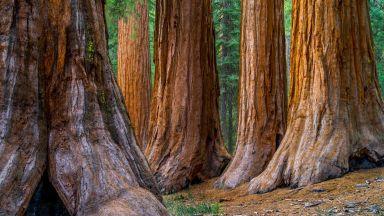 Хиляди гигантски секвои са унищожени в Калифорния от пожарите