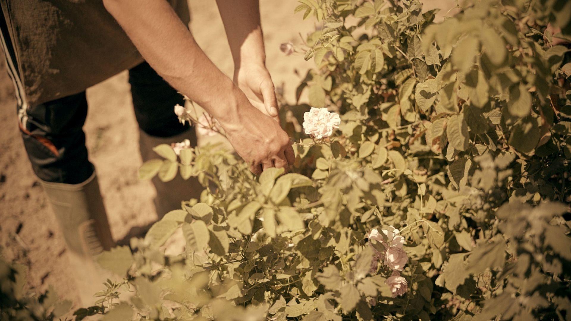 """""""SOS Българска роза"""" - благотворителна кампания ще спасява малките розопроизводители в Средногорието"""